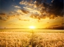 Buğday-Başak