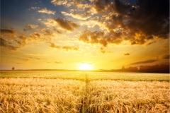 Buğday-Başak1