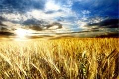 Buğday-Başak10