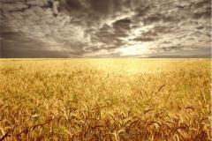 Buğday-Başak13