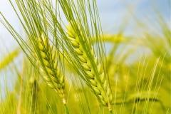 Buğday-Başak16
