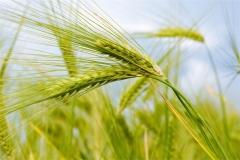 Buğday-Başak17