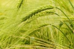 Buğday-Başak18