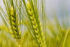 Buğday-Başak19
