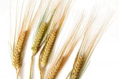 Buğday-Başak2