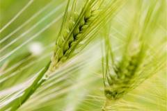 Buğday-Başak20