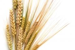 Buğday-Başak3