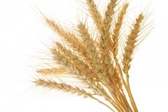 Buğday-Başak4
