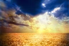 Buğday-Başak5