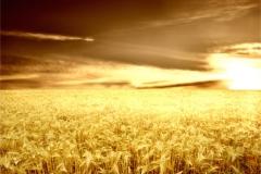 Buğday-Başak6