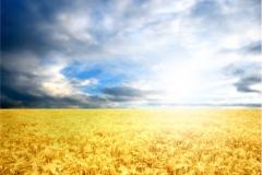 Buğday-Başak8