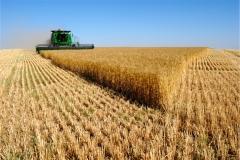 Buğday-Başak9