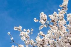 Gökyüzü-Ağaç-Çiçek 2